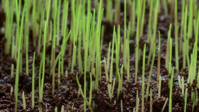 vidéos et rushes de t/l, cu, selective focus, grass (gramineae) growing from soil - herbe