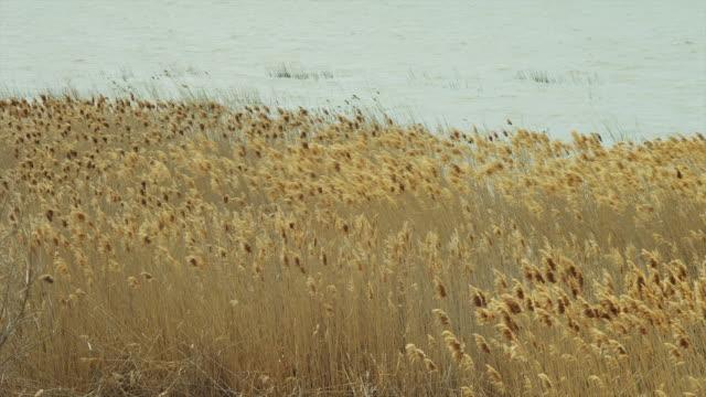 ms grass growing on lake shore waving on breeze / orem, utah, usa - orem utah stock videos & royalty-free footage