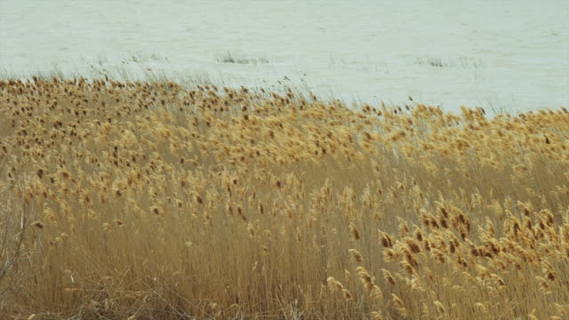 MS Grass growing on lake shore waving on breeze / Orem, Utah, USA