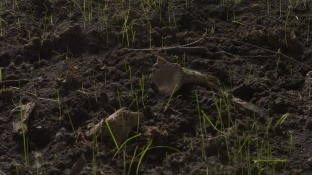 Grass grows through soil scattered with bones.