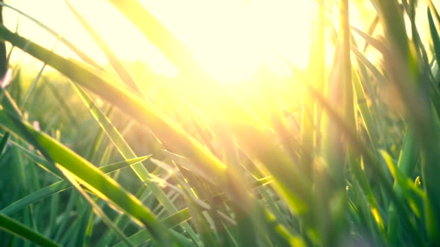 Grass in spring sunset