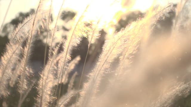 grass in sunset light with dust slow motion - macrophotography stock videos & royalty-free footage