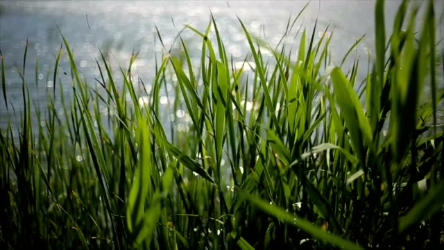 Grass in swamp