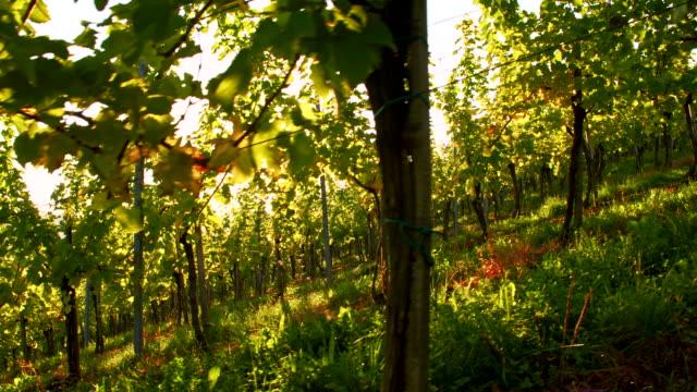 vídeos de stock, filmes e b-roll de ls grama no vinhedo ao nascer do sol - raw footage