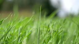 Grass in the wind  in 4K slow motion