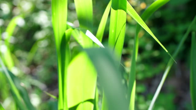 grass leaves with morning sunlight - swaying stock videos & royalty-free footage