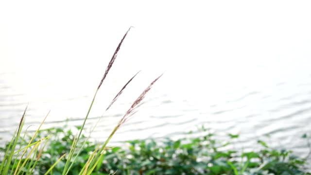 Herbe sur le lac