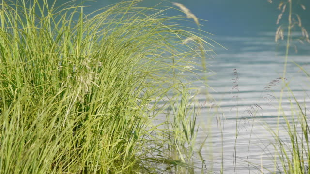 grass on the lakeshore - lakeshore stock videos & royalty-free footage