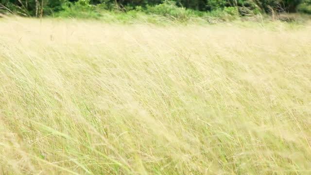stockvideo's en b-roll-footage met hd: gras op de wind - lengte