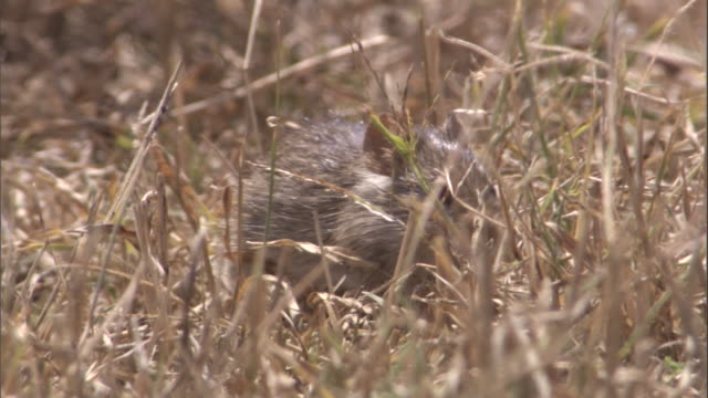 grass rat feeds in grass. available in hd. - roditore video stock e b–roll