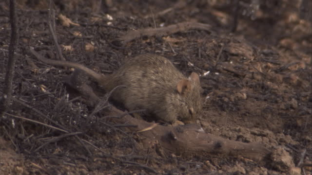 a grass rat forages on the ashy ground. available in hd. - roditore video stock e b–roll
