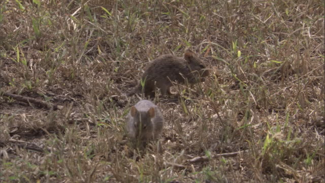 grass rats feed in grass. available in hd. - roditore video stock e b–roll