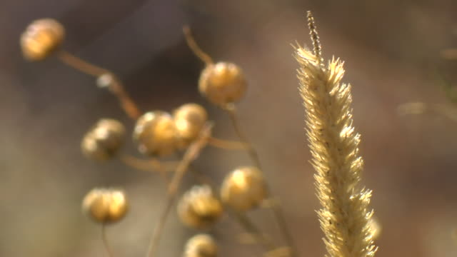 grass seed head. - botany stock videos and b-roll footage