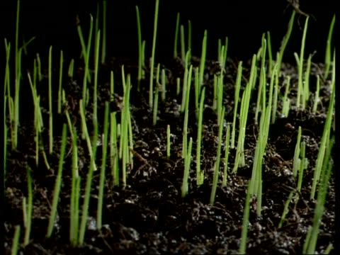 T/L Grass shoots emerging from soil, shot gradually darkens as grass fills shot (good shot)
