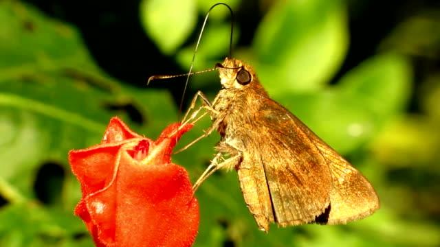vidéos et rushes de herbe skipper - des papillons dans le ventre