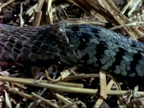 cu grass snake body sloughs skin, snake moves off, leaving skin behind - 抜け殻点の映像素材/bロール