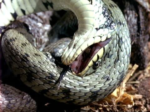 cu grass snake feigns death, uk - tierhaut stock-videos und b-roll-filmmaterial