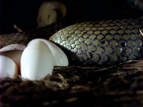 cu grass snake laying an egg, uk - tierhaut stock-videos und b-roll-filmmaterial