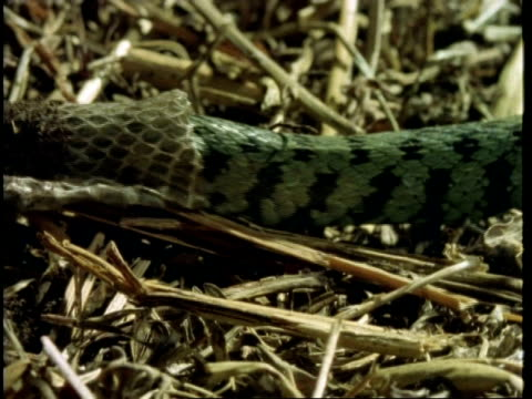 cu grass snake, natrix natrix, sloughing skin, united kingdom - animal colour stock videos & royalty-free footage