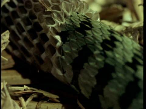 cu grass snake, natrix natrix, sloughing skin, united kingdom - tierhaut stock-videos und b-roll-filmmaterial