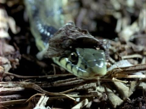 vídeos y material grabado en eventos de stock de cu grass snake sloughing skin on head, flicks tongue - patrones de colores