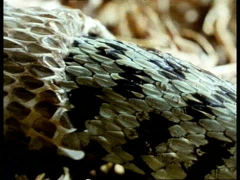 bcu grass snakes shedding skin - shed stock videos & royalty-free footage