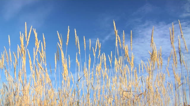 grass straw blowing in the wind - waving stock videos & royalty-free footage