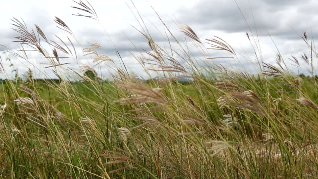 grass teetering back and forth as the wind blows. - gale stock videos & royalty-free footage