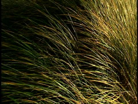 grass - オオハマガヤ属点の映像素材/bロール