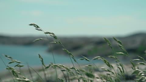 stockvideo's en b-roll-footage met gras zwaaiend in de wind op de zweedse westcoast - autumn