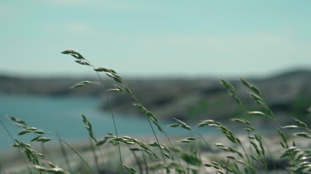 grass waving in the wind on the swedish westcoast - grass family stock videos & royalty-free footage