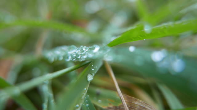 Grass with dew drops. Video is looped