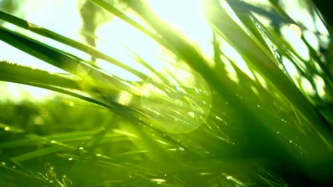 vídeos y material grabado en eventos de stock de hierba con rocío - hierba familia de la hierba