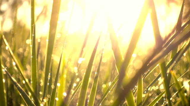 grass with dew - dew stock videos & royalty-free footage
