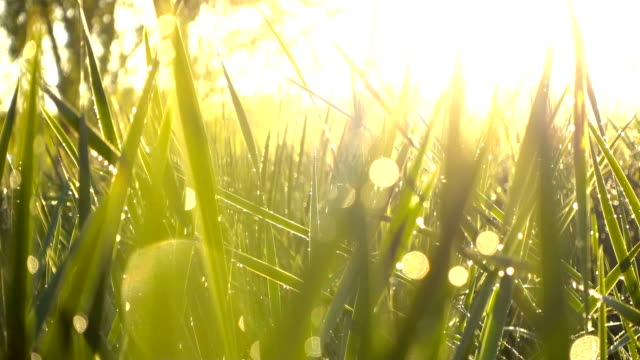 grass with dew - grass family stock videos & royalty-free footage