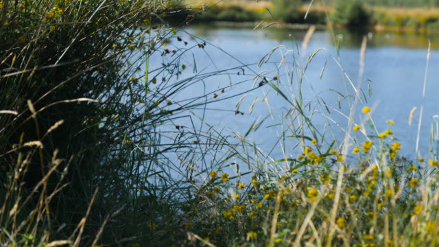 Grasses and flowers blow in the breeze on the banks of a pond