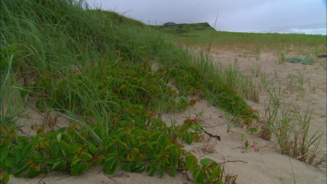 grasses and other vegetation cover a sand dune at coast guard beach. - sea grass plant点の映像素材/bロール