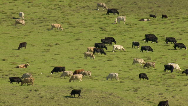 grass-fed cattle graze in the north kohala region on the big island of hawaii. - grass fed stock videos & royalty-free footage