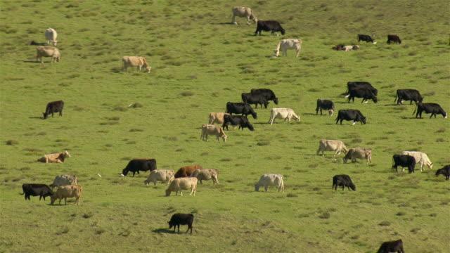 Grass-fed cattle graze in the North Kohala region on the Big Island of Hawaii.