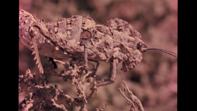 grasshopper blending into thorn bush. vs katydids, reddish orange leaf katydid standing still on vine, green leaf katydid hanging on vine next to... - anpassen stock-videos und b-roll-filmmaterial