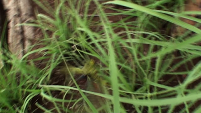 a grasshopper clings to long grass and then flies away. - gliedmaßen körperteile stock-videos und b-roll-filmmaterial