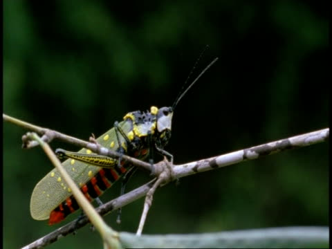 ms grasshopper crawling on branch, western ghats, india - animal markings stock videos & royalty-free footage