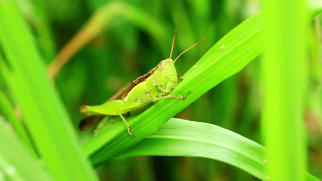 grasshopper eats leaf
