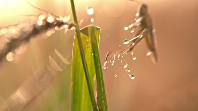 vídeos de stock e filmes b-roll de slo mo grasshopper jumping off a plant of wheat - caule de planta
