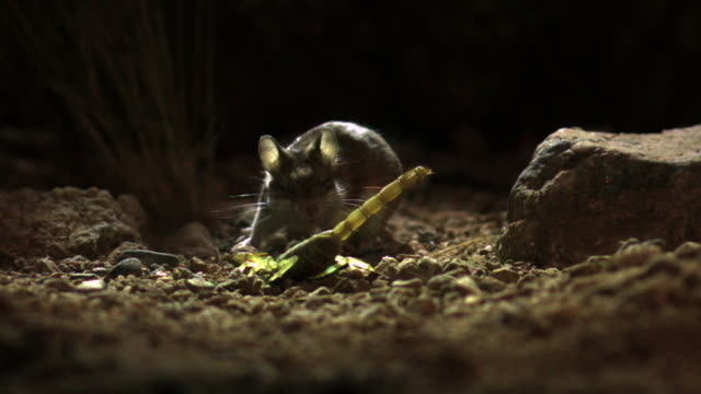 slomo grasshopper mouse gets stung by scorpion, usa - rodent stock videos & royalty-free footage