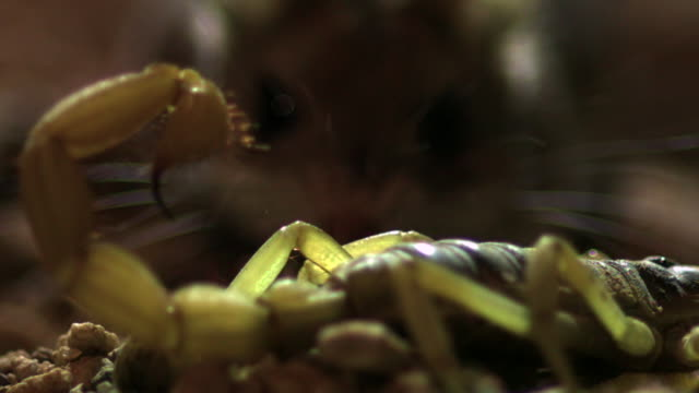 slomo grasshopper mouse hunts scorpion, usa - scorpion stock videos & royalty-free footage