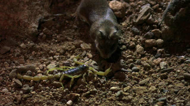 slomo grasshopper mouse hunts scorpion, usa - rodent stock videos & royalty-free footage