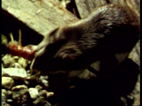 cu grasshopper mouse, onychomys torridus, and giant centipede, scolopendra gigantea, fighting, from above, usa - hundertfüßer stock-videos und b-roll-filmmaterial