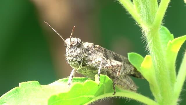 grasshopper on a leaf - cricket stock videos & royalty-free footage