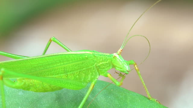 grasshopper on a leaf - cricket insect stock videos and b-roll footage